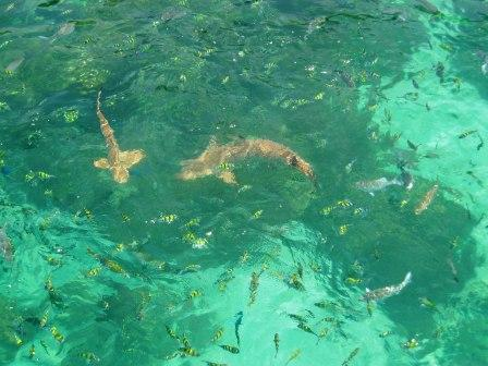 sharks and fishes swimming in crystal clear water