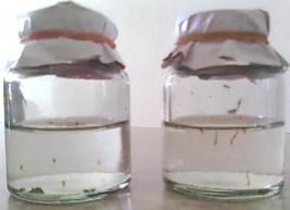 mosquitoes breeding in bottles